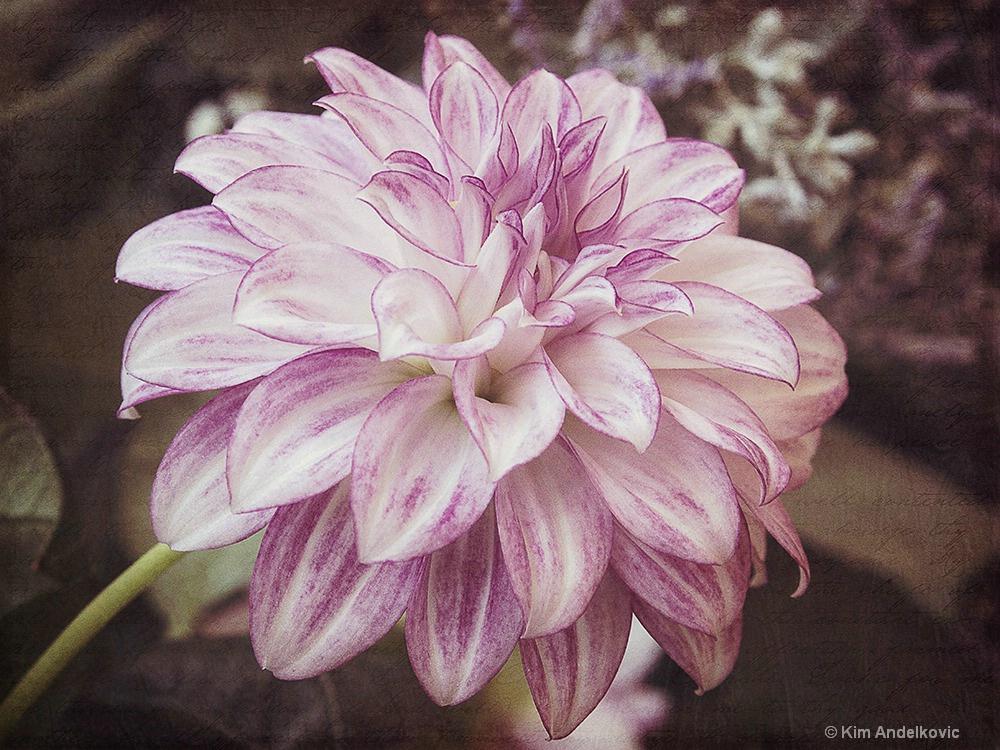 Pretty Dahlia