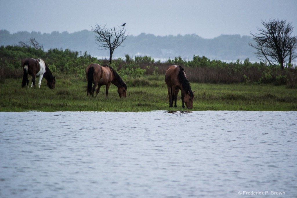 Wild Ponies Assateague Island MD-1-4-1 - ID: 15376325 © Frederick P. Brown