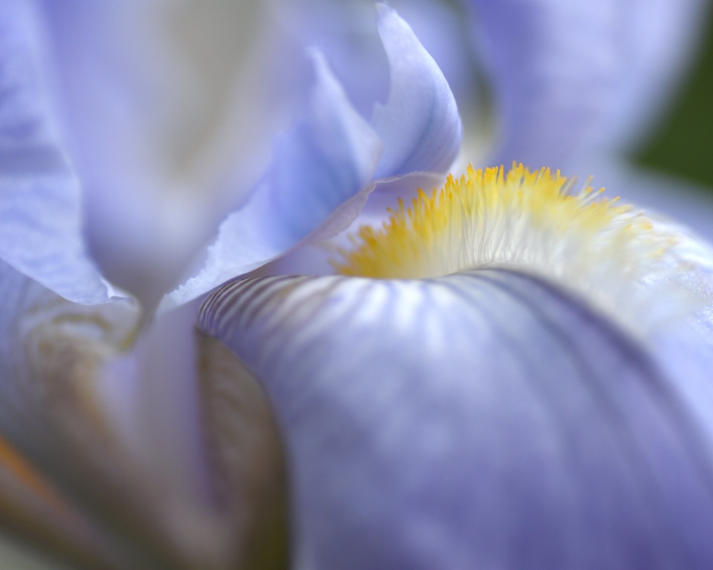 Blue Iris Blur
