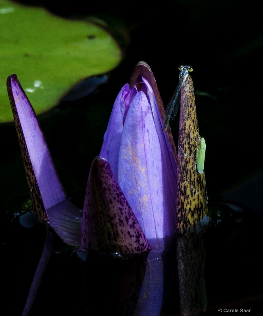 Visitors to my waterlily