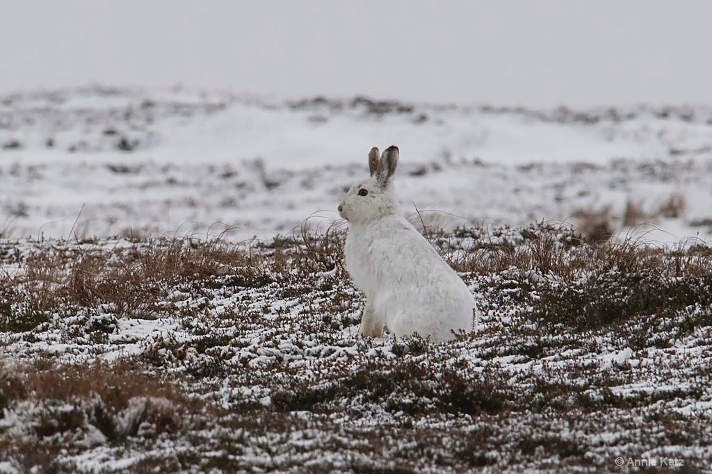 White Rabbit - ID: 15378877 © Annie Katz