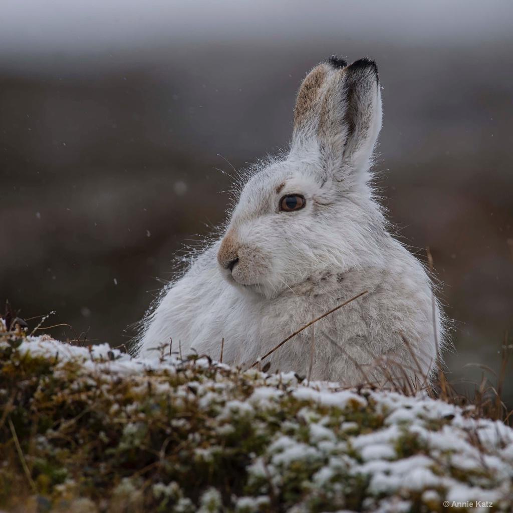 Winter Hare - ID: 15378882 © Annie Katz