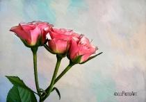 Blush Beauties
