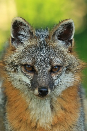 Gray Fox Portrait