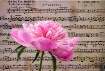 Symphony in pink