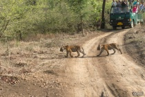 4 month old cubs of Tigress (T-8)