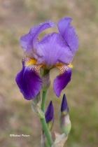 Iris 4200