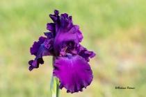 Iris 4201