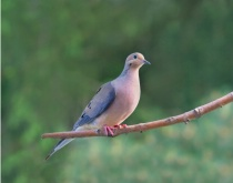 Watchful Dove