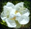 Beautiful Magnoli...