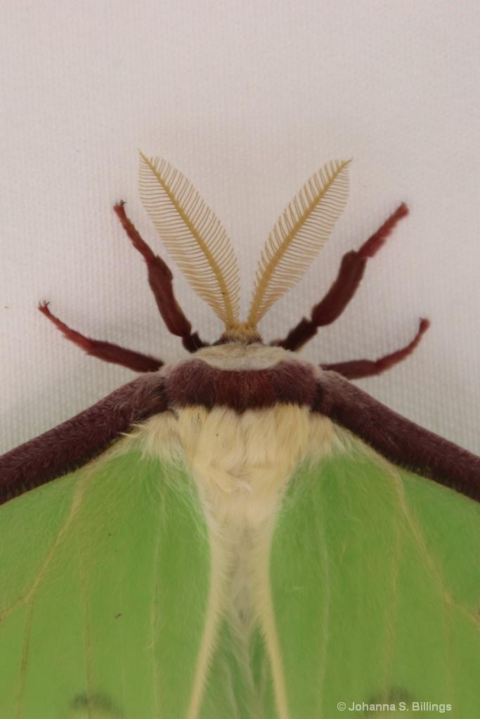 Moth the Hoople - ID: 15385357 © Johanna S. Billings