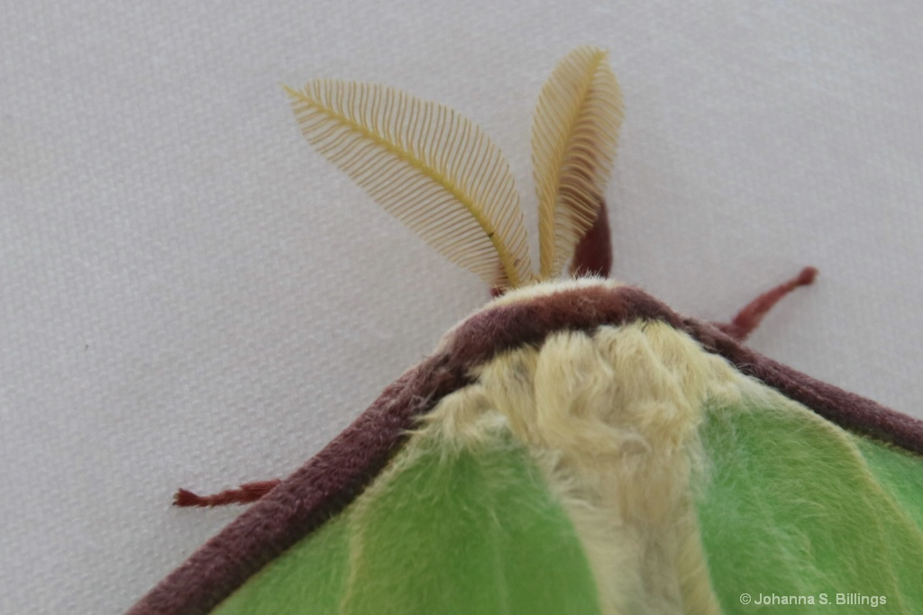 Antennae - ID: 15385359 © Johanna S. Billings