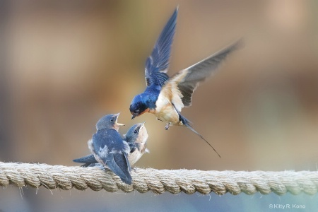 Momma Barn Swallow Delivering the Goods