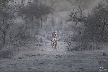 Arrowhead tigress on her morning rounds !(2)