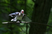 Baby Blue Jay Calling for Mom