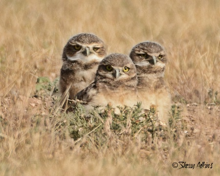 Young Burrowing Owls 2
