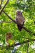 Spotted wood owls