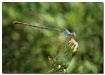 blue-fronted danc...