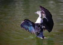 Knob-billed duck (female)