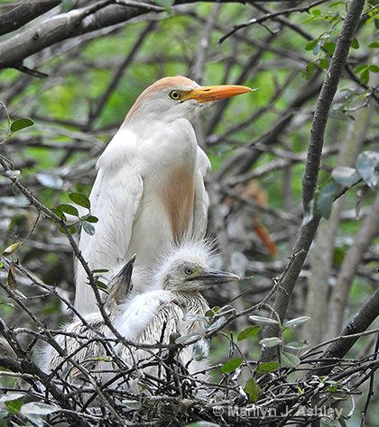 Cattle Egret and young - ID: 15415108 © Marilyn J. Ashley