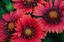Red Indian Blanket Flowers
