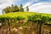 Alegria Vineyards...