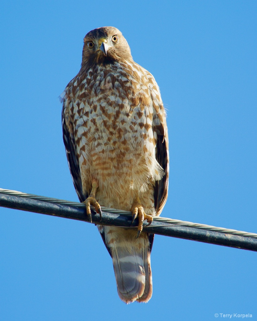 Red-tailed Hawk - ID: 15426036 © Terry Korpela