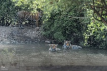 Tigress T-60 keeping watchful eye on her 2 cubs !