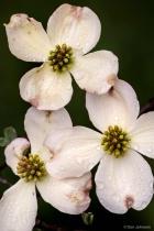 Three Dogwood Blossoms 4-12-17 026