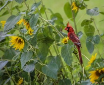 Cardinal in a sunflower patch!