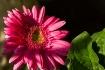 Pink Gerbera with...