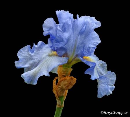 Blue Cap Iris