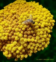 Insect on Golden Yarrow
