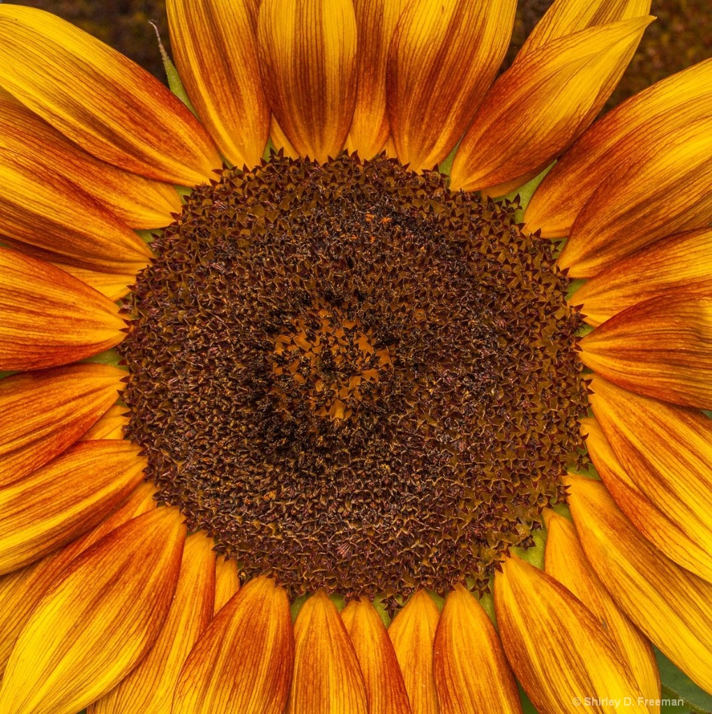 Sunflower - ID: 15428518 © Shirley D. Freeman