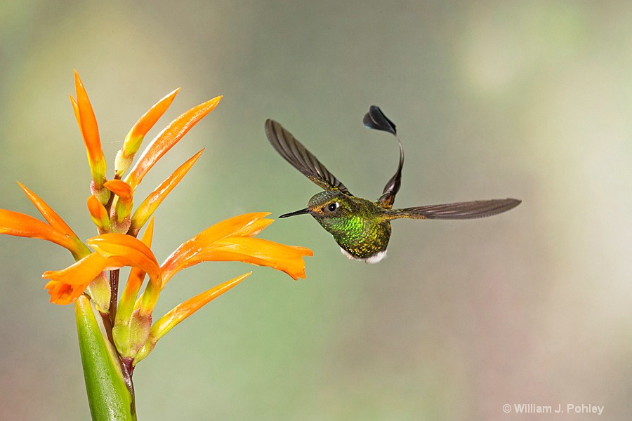 Booted Racket-tail, male  BH2U9718 - ID: 15429021 © William J. Pohley