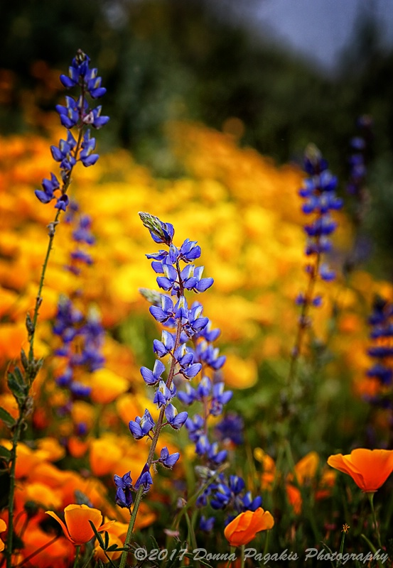 Lupines and Poppies
