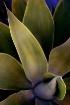 Carhuata leaf