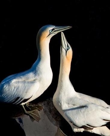Gannet Affection 1