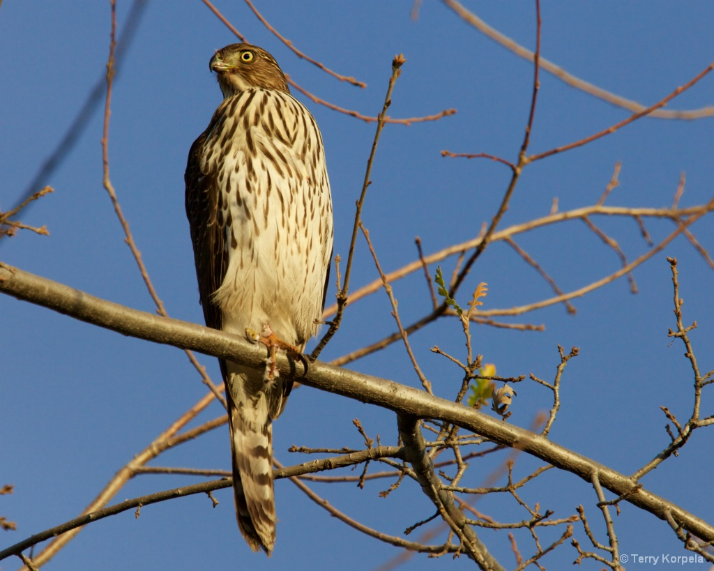Red-tailed Hawk - ID: 15429889 © Terry Korpela