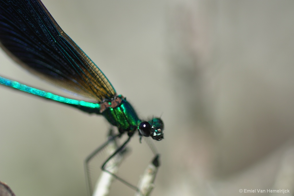 detail dragonfly