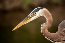 Heron Headshot