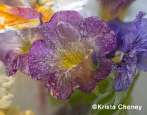 Purple and yellow superbell in ice