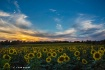 Sunflower sunset#...