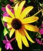 pretty yellow dai...