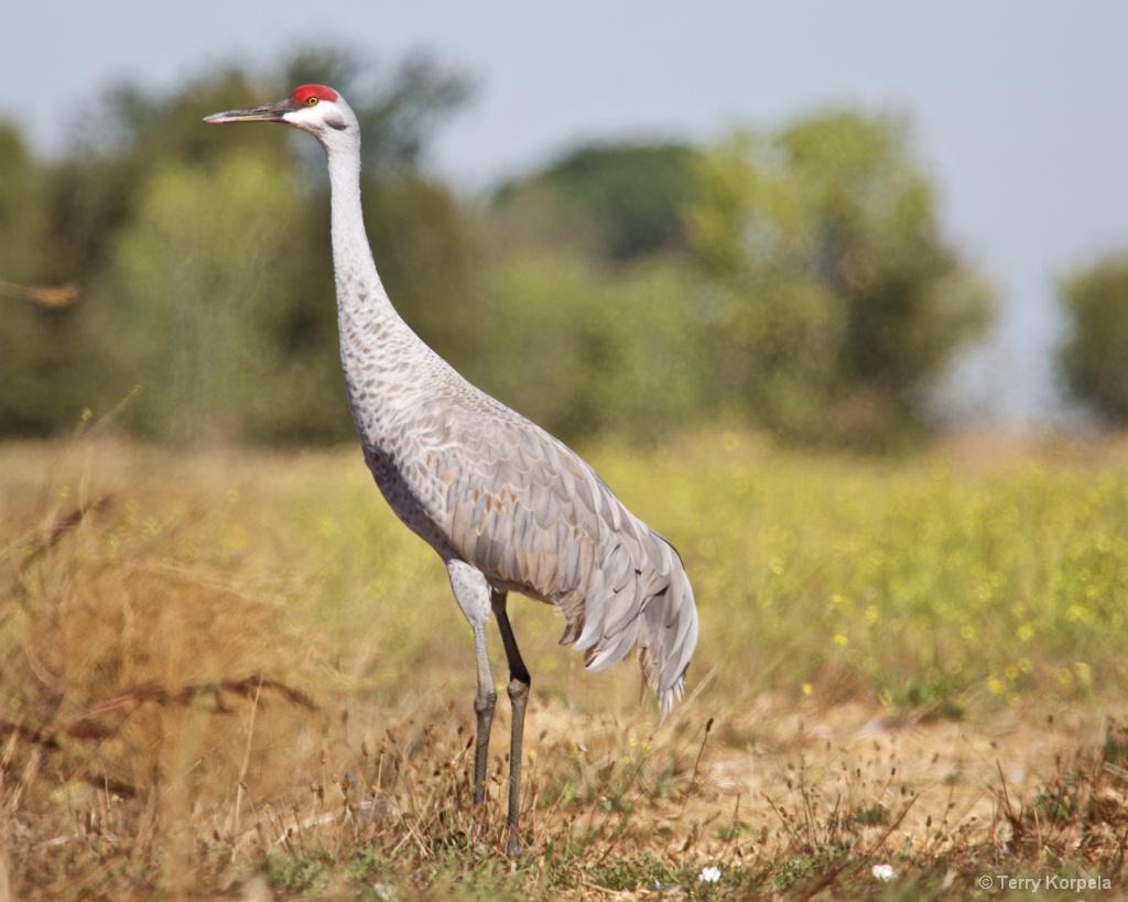 Sand Hill Crane - ID: 15434276 © Terry Korpela