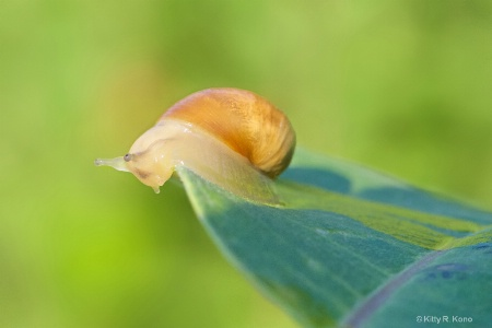 Little Snail on a Milkweed Leaf