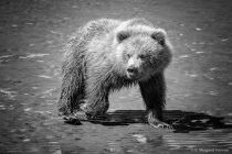 Bear Cub Stare