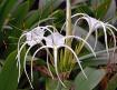 Spider flower