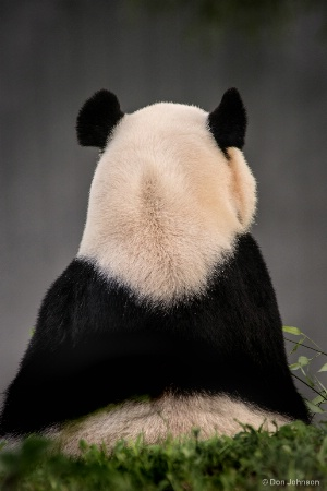 Backward Panda 8-13-17 018