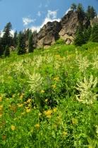 Wildflowers of Mt. Lassen Park